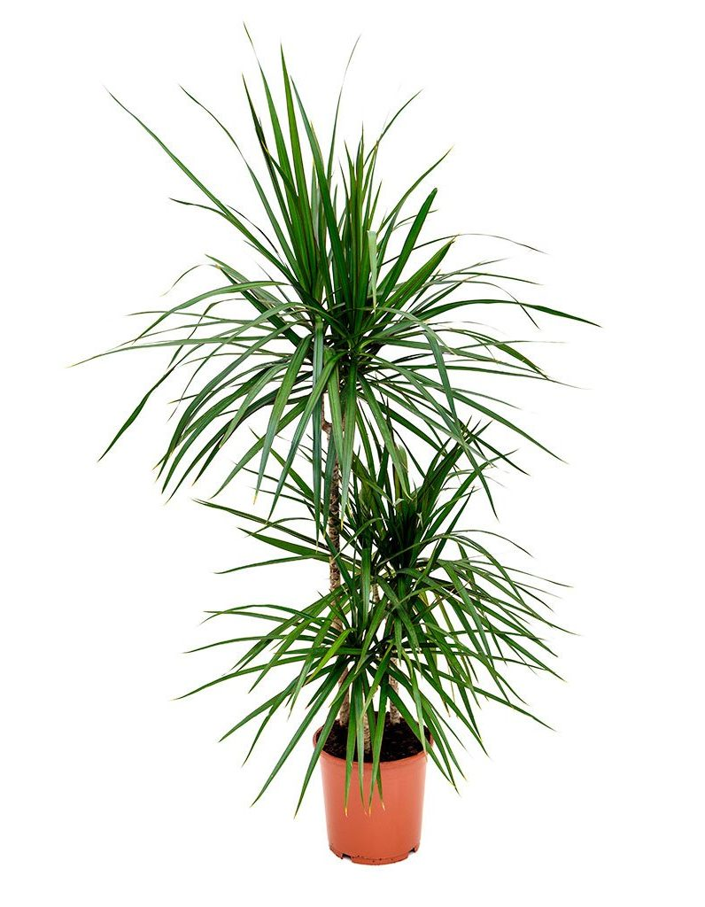 dragon tree houseplants with style