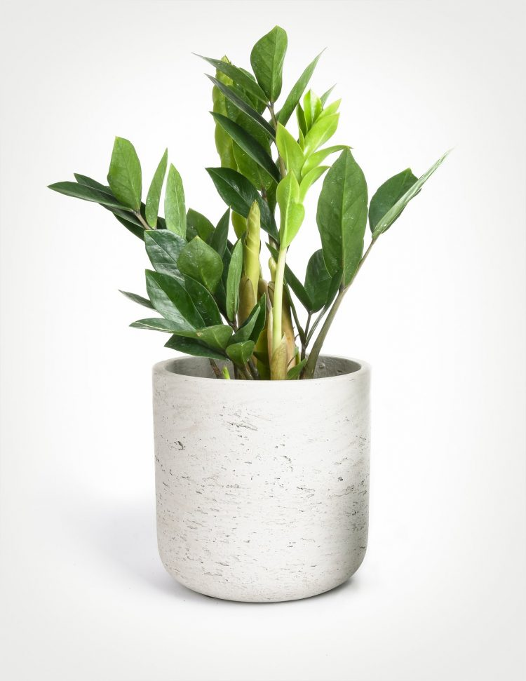 zz plant houseplants with style