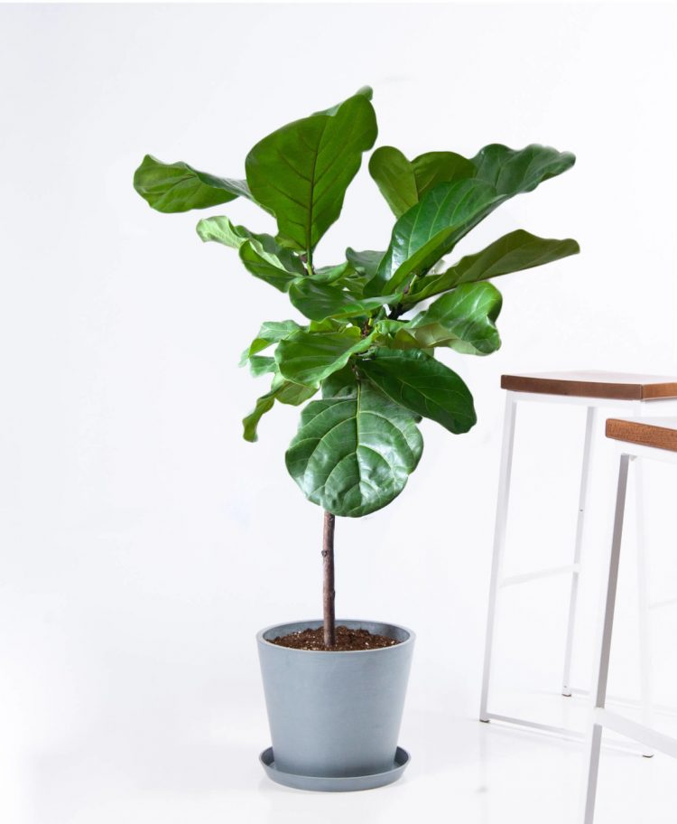 fiddle leaf fig houseplants with style