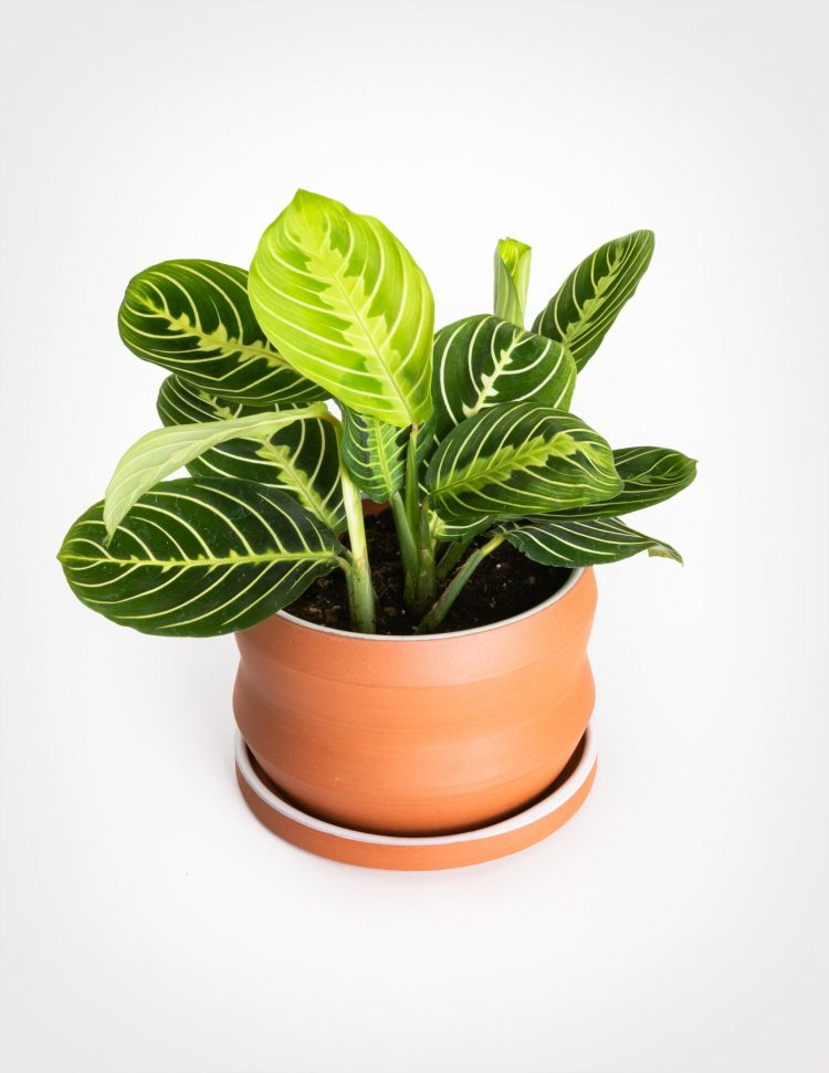prayer plant houseplants with style