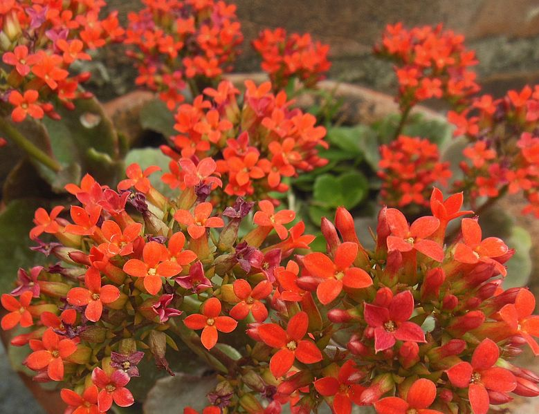 Flowering succulents with red flowers for mid century garden