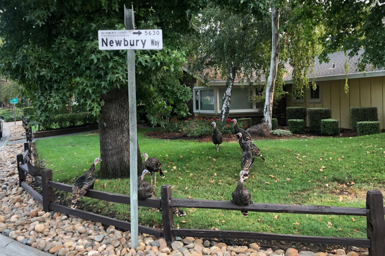 Wild Turkeys in Sacramento
